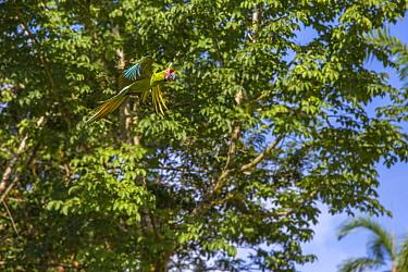 Great green macaw (Ara ambiguus) Costa Rica, La Selva Field Station. August.