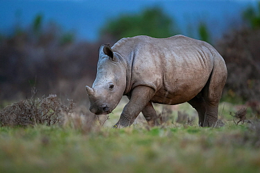 A young White rhinoceros (Ceratotherium simum) walks through grassland on Kariega Game Reserve, South Africa.