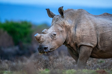 Southern white rhinoceros (Ceratotherium simum) feeding on the plains of Kariega Game Reserve, South Africa.