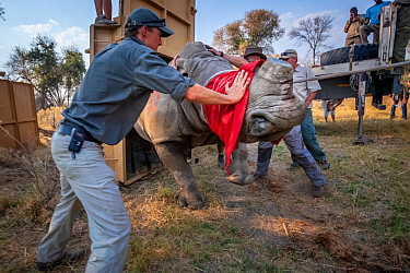 A team of vets and conservationists guide a blindfolded and partially drugged adult White rhinoceros (Ceratotherium simum) out of its transport crate and into its new home in the Okavango Delta in nor...