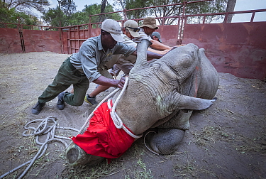 Team of vets and conservation staff move a sedated White rhinoceros (Ceratotherium simum) into a comfortable resting position in a secure enclosure known as a boma during a translocation operation to...