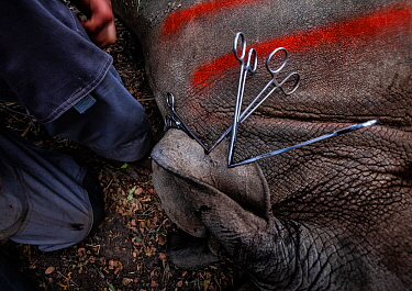 Vets cut identification notches into the ear of a White rhinoceros (Ceratotherium simum) before releasing it into the wild of the Okavango Delta in northern Botswana after the rhino was translocated f...