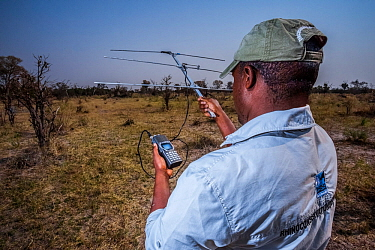 A rhino monitor from the charity Rhino Conservation Botswana uses telemetry equipment to track newly released rhinos Okavango Delta, Botswana, where efforts have begun to rebuild the rhino populations...