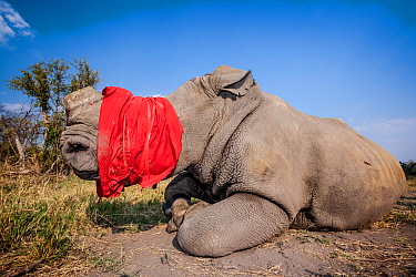 A blindfolded and tranquilised adult White rhinoceros (Ceratotherium simum) lies and recovers in the Okavango Delta, Botswana following a translocation operation that involved moving rhinos from South...