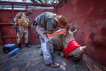 A vet cuts identification notches into the ear of a sedated White rhinoceros (Ceratotherium simum) in a secure enclosure known as a boma as part of a translocation operation to bring rhinos from South...