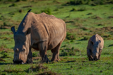 Southern White rhinoceros (Ceratotherium simum) known as Thandi who survived a poaching attack shows her healed face where poachers cut off her horns while walking alongside her calf, Kariega Game Res...