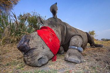 Blindfolded and tranquilised adult White rhinoceros (Ceratotherium simum) with a tracking tag lies and recovers in the Okavango Delta, northern Botswana, following a translocation operation that invol...