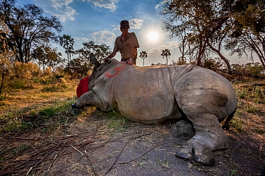 Vet prepares to wake up a tranquillised White rhinoceros (Ceratotherium simum) upon its release into Okavango Delta, Botswana, following an operation to translocate rhinos from South Africa to rebuild...