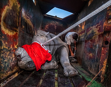A vet ties ropes around the foot and head of a blindfolded and partially drugged White rhinoceros (Ceratotherium simum) after a long journey to Botswana from South Africa.