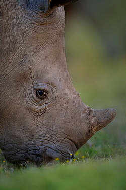 A young White rhinoceros (Ceratotherium simum) feeds on grassland on Kariega Game Reserve, South Africa.