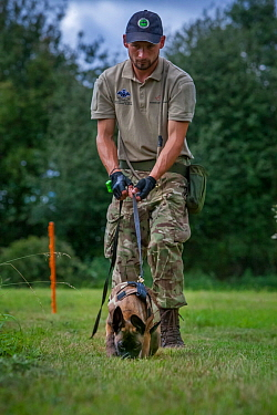 A young Belgian Shepherd anti-poaching dog is trained to follow a scent trail at an Animals Saving Animals training facility in England before being deployed to Africa to protect endangered species.