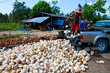 Men unloading balls of natural rubber from pick up truck, Krabi province, Andaman Sea, Thailand, Asia
