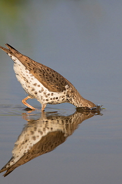 Spotted sandpiper (Actitis macularius), with head submerged as it jabs at underwater prey, Caroline, New York, USA, May.