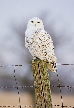 Snowy Owl (Nyctea scandiaca) female perched, Amherst Island, Ontario, Canada, January.