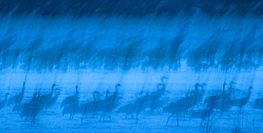 Abstract interpretation of Sandhill Cranes (Grus canadensis) at roost during spring migration in March, Rowe Sanctuary, Kearney, Nebraska, USA. March. Long exposure.