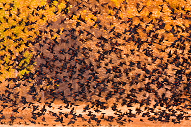 Mixed Blackbird flock, mostly Red-winged Blackbirds (Agelaius phoeniceus), in flight against backdrop of autumn foliage in November, Bosque Del Apache National Wildlife Refuge, New Mexico, USA. Novemb...