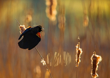 Red-winged Blackbird (Agelaius phoeniceus) male displaying in cattail marsh, backlighting, Ithaca, New York, USA, April.