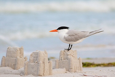 Royal tern (Sterna maxima) perching on a sand castle on a beach, Fort De Soto Park, St. Petersburg, Florida, USA, March.