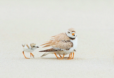 Piping Plover (Charadrius melodus) brooding three chicks with a fourth approaching, northern Massachusetts, USA.June. Endangered species.