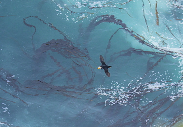 Horned Puffin (Fratercula corniculata) flying over a pattern of kelp and sea foam, photographed from above, St. Paul, Pribilof Islands, Alaska, USA. July.