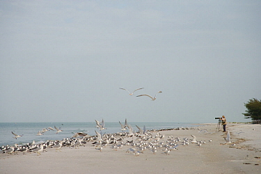 Terns, gulls, and skimmers on the beach with bird photographer, Fort De Soto Park, St. Petersburg, Florida, USA. January.