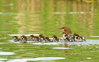 Common mergansers (Mergus merganser) family, female swimming with seventeen ducklings, some of which are riding on her back, Lansing, New York, USA, June.