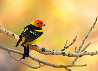 Western tanager (Piranga ludoviciana), male perched on aspen branch in spring, Mono Lake Basin, California, USA, May.
