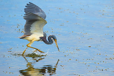 Tricolored heron (Egretta tricolor) adult in breeding plumage capturing fish by half-running half-flying across water's surface and stabbing with its bill, Viera Wetlands, Brevard County, Florida,...