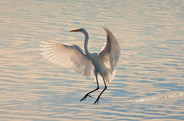 Great Egret (Ardea alba), about to land in water, backlit, Bolsa Chica Ecological Reserve, California, USA, October.