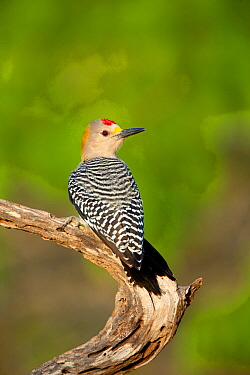 Golden-fronted woodpecker (Melanerpes aurifrons), male, Cozad Ranch, Rio Grande Valley, Texas, USA, March.