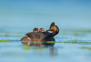 Eared Grebes (Podiceps nigricollis), adult feeds a damselfly nymph to one of two chicks riding on its back, Bowdoin National Wildlife Refuge, Montana, USA, June.