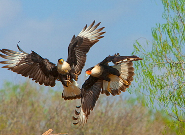 Crested caracaras (Caracara cheriway), midair aggressive interaction between two for access to perch, Martin Refuge, Rio Grande Valley, Texas, USA, March.