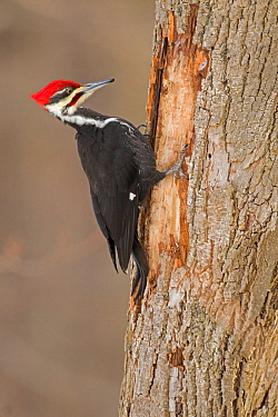 Pileated Woodpecker (Dryocopus pileatus) male, at feeding excavation in tree trunk in winter, Freeville, New York, USA, January.