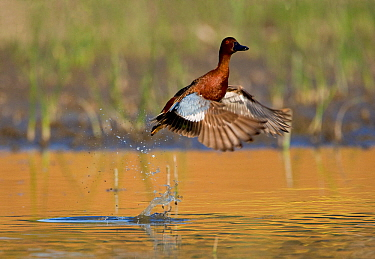 Cinnamon teal (Anas cyanoptera), male taking flight from water, Orange County, California, USA, April.