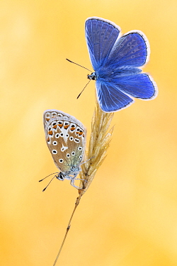 Common blue butterflies (Polyommatus icarus) basking in the morning light, Vealand Farm, Devon, UK. July