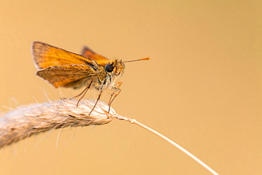 Small skipper butterfly (Thymelicus sylvestris) resting on grass head, Vealand Farm nature reserve, Devon, UK. July.