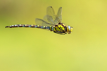 Southern hawker (Aeshna cyanea) dragonfly in flight, Broxwater, Cornwall, UK. July.