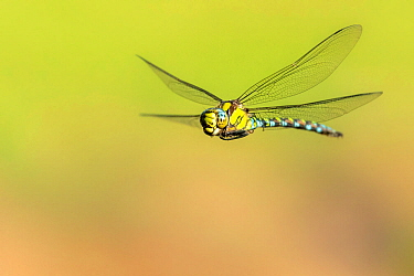 Southern hawker (Aeshna cyanea) dragonfly in flight, Broxwater, Cornwall, UK. August.