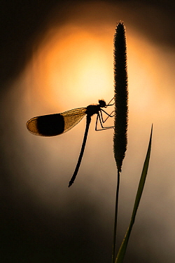 Banded demoiselles (Calopteryx splendens) male, roosting among grasses, silhouetted against the sun reflected in the water, Lower Tamar Lakes, Cornwall, UK. July.