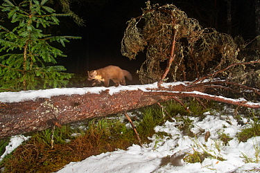 Pine marten (Martes martes), Black Isle, Scotland, UK. February. Photographed by camera trap.