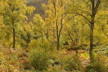 Birch trees (Betula pendula), Glen Affric, Highlands, Scotland. October 2017