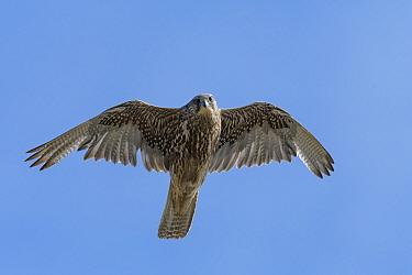 Gyrfalcon (Falco rusticolus) in flight against blue sky, Skoruvikurbjarg cliffs, Langanes Peninsula. Northeast Iceland. May.