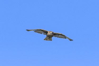 Gyrfalcon (Falco rusticolus). Skoruvikurbjarg cliffs, Langanes Peninsula. Northeast Iceland. May.