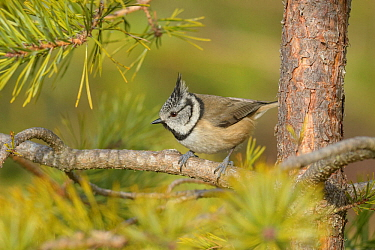 Crested tit (Lophophanes cristatus), Black Isle, Scotland. February