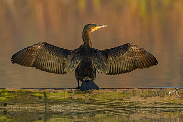 Cormorant (Phalacrocorax carbo) drying wings, Reddish Vale Country Park, Greater Manchester, UK. December.