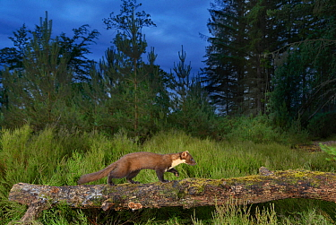 Pine marten (Martes martes) walking along falled tree trunk on the Black Isle, Scotland, UK. June 2017. Photographed by camera trap.