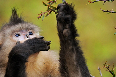 Female Yunnan Snub-nosed monkey (Rhinopithecus bieti) feeding, Tacheng Yunnan snub-nosed monkey National Park, Yunnan, China.