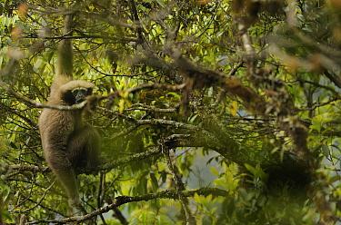 Western Hoolock Gibbon (Hoolock hoolock) Gaoligongshan NP, Yunnan province, China