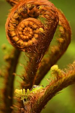 Gaoligongshan Tree Frog (Polypedates / Rhacophorus gongshanensis) in fern (Cibotium barometz) Gaoligongshan Mountains, Yunnan, China