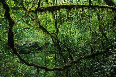 Lianas in the subtropical rainforest, Gaoligongshan NP, Yunnan province, China